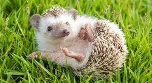 Hedgehog Equipment